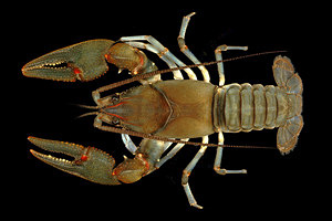 Big Sandy Crayfish Photo by Guenter Schuster