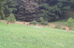 Several deer, including a fawn, graze in a field in a West Virginia hollow