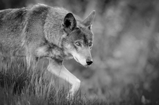 red-wolf-by-seth-bynum