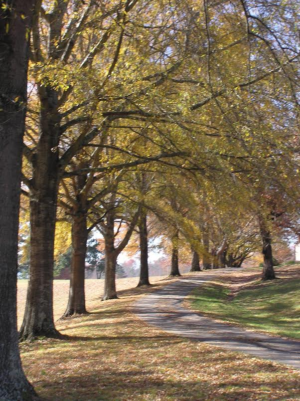 Patterson walking path bounded by oak trees